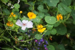 Clematis and nasturtiums