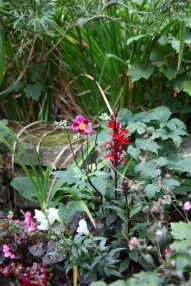Lobelia Cardinalis, Japanese anemone, begonias