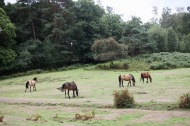 Ponies in landscape with rowan tree