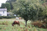 Ponies and apple tree