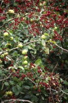 Apples and hawthorn fruit