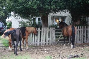 Ponies at gate