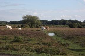 Cattle on moor