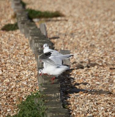 Gulls preening