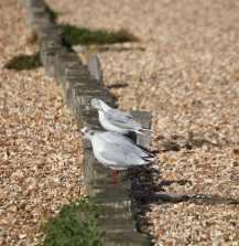 Gulls - one shreiking, one preening