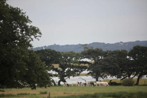 Cattle in field - Isle of Wight in background