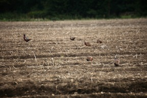 Pheasants in field