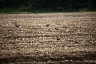Pheasants in field