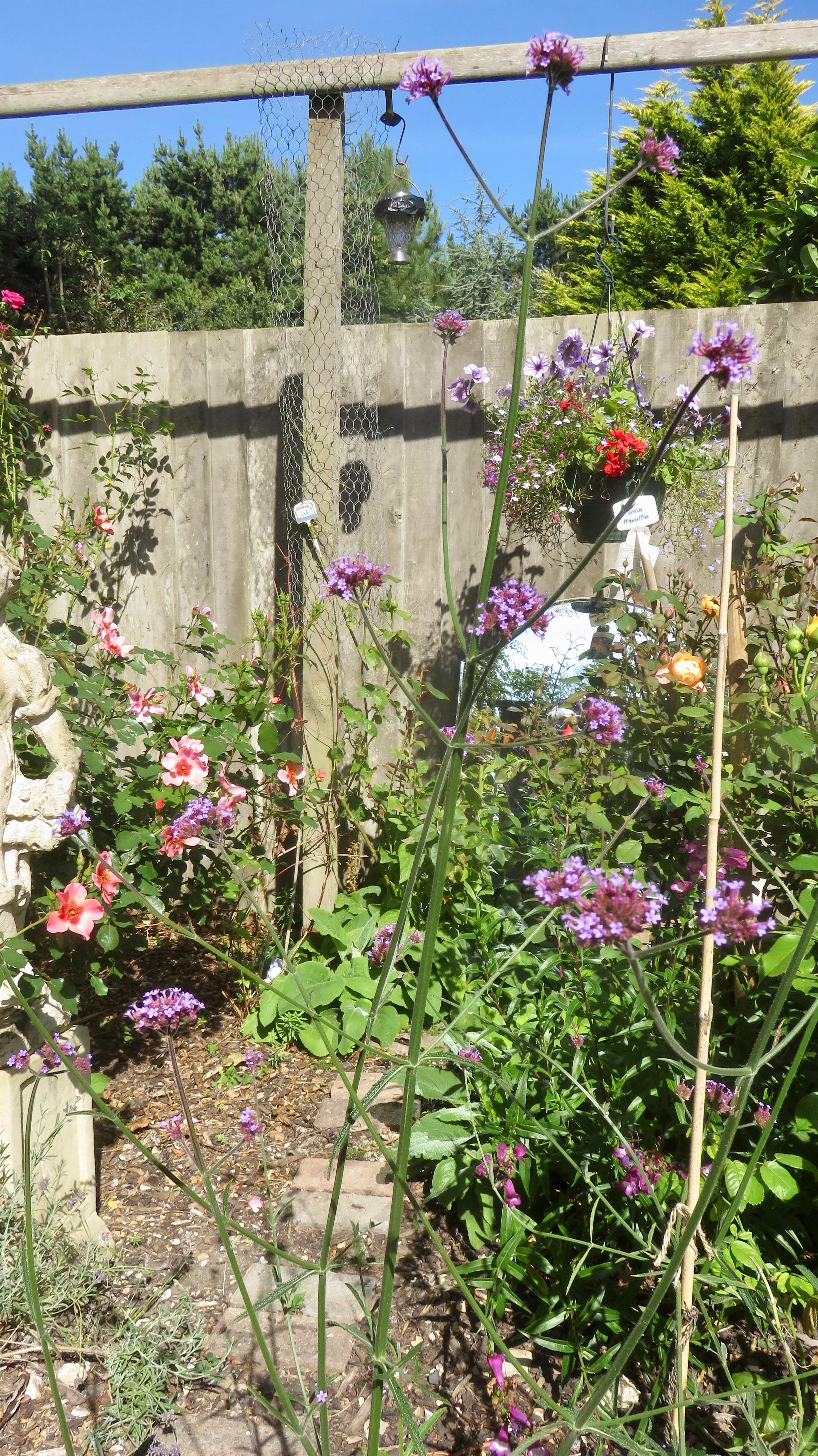 Verbena bonarensis in Rose Garden