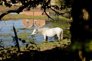 Pony with pond weed