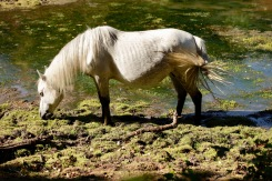 Pony grazing in lake bed
