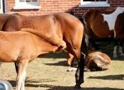 Foal suckling