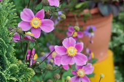 Japanese Anemones by Helen K
