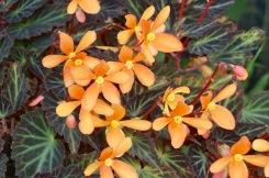 Begonias by Helen K
