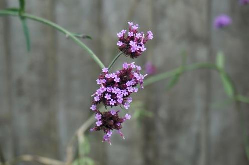 Verbena bonariensis by Helen K
