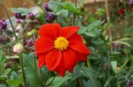 Dahlia Bishop of Llandaff by Helen K