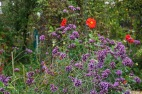Verbena bonariensis and dahlias Bishop pf Llandaff by Helen K