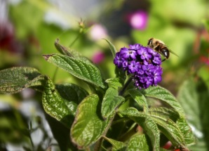 Bee on heliotrope