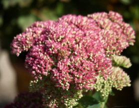 Bee on sedum