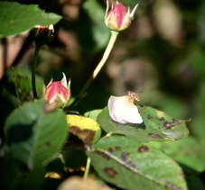Hoverfly on rose petal