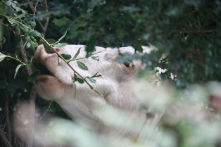 Cow eating shrubs