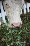 Cow eating shrubs