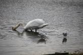 Swan and gulls