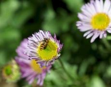 Hoverfly on erigeron