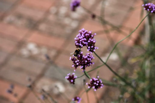 Bee on verbena bonariensis