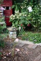 Rose Garden Margaret Merrill, fuchsia, hydrangea