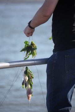 Seaweed on crab line