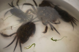 Crabs in bucket