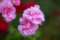 Raindrops on geranium