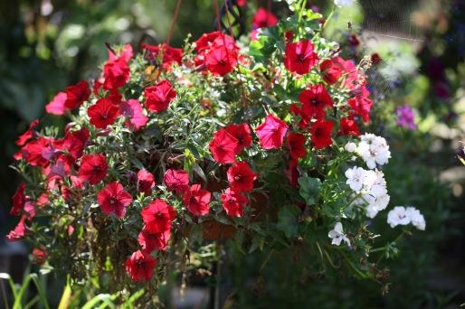 Petunias, geraniums, spider in web