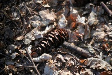 Pine cone and autumn leaves