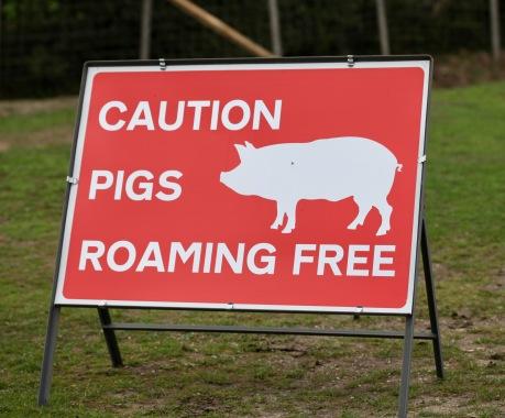 Caution Pigs Roaming Free