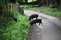 Pigs on road