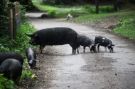 Pigs on road