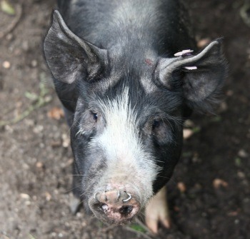Piglet's face