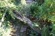 Snake Bark Maple across Brick Path