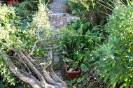 Snake Bark Maple on Brick Path