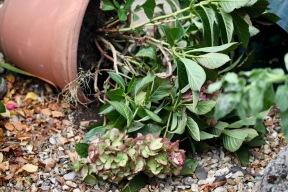 Hydrangea pot fallen