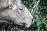 Cow eating nettles