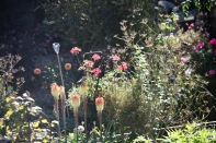 Kniphofias, geraniums, dahlias