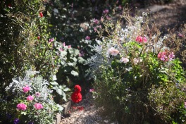 Geraniums, Chilean lantern bush, dahlias