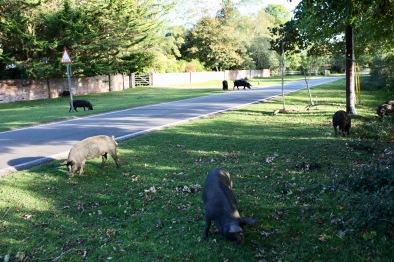Pigs at pannage