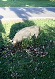Pig at pannage
