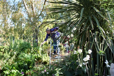 Jackie training clematis Montana up Gardman arch