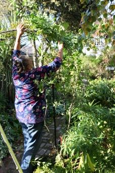 Jackie training solanum atop Gardman arch