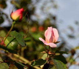 Rose pink climber and bud